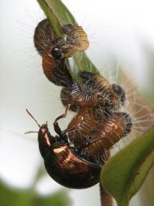 Pterodunga female tending her larvae in Australia (Photo: S. Hasenpusch)